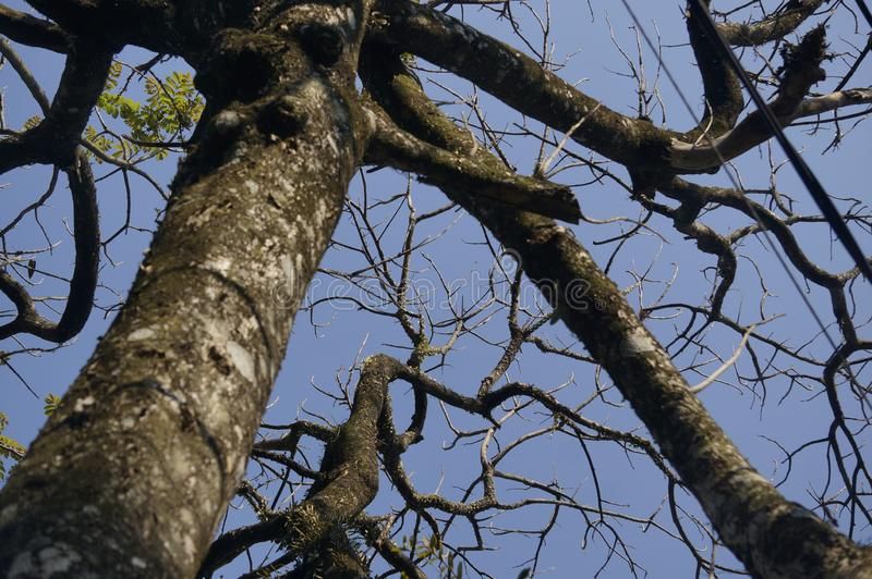 Un árbol seco debido a la estación seca fotos de archivo libres de regalías