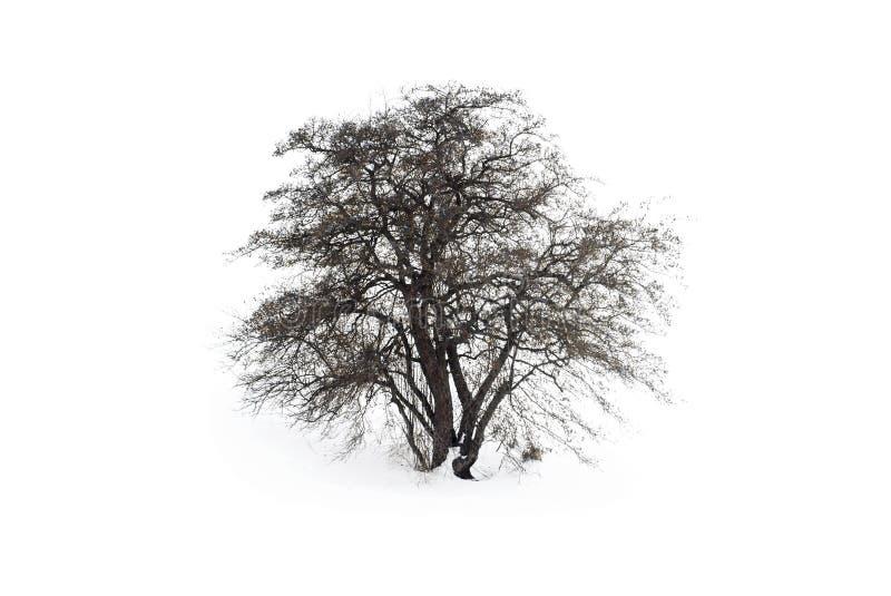 Un árbol solitario en un campo nevado Roble escarchado con un remiendo de la tierra fotografía de archivo libre de regalías