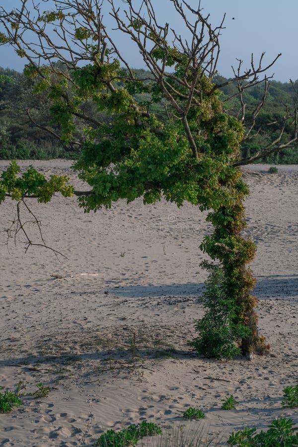 Un árbol solitario en la arena imagen de archivo