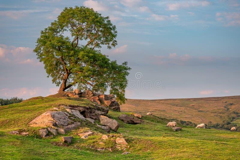 Un árbol solitario en la puesta del sol en las cucarachas en el parque nacional del distrito máximo, Staffordshire, Reino Unido imagen de archivo