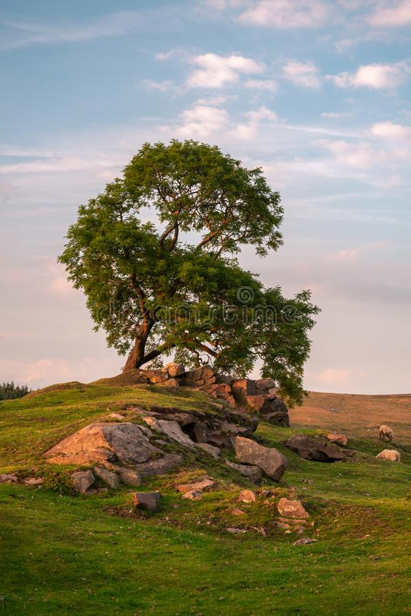 Un árbol solitario en la puesta del sol en las cucarachas en el parque nacional del distrito máximo, Staffordshire, Reino Unido fotografía de archivo libre de regalías
