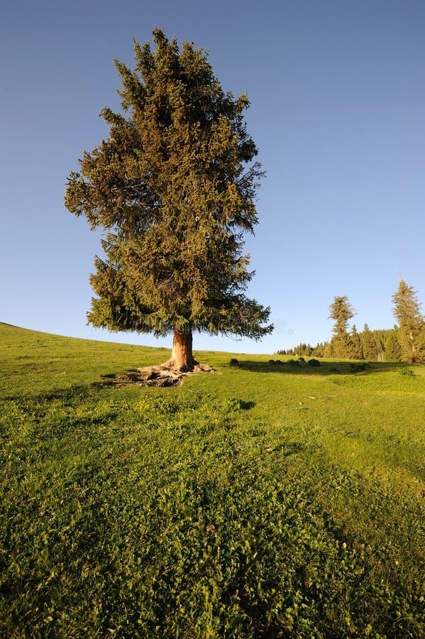 Un árbol spruce fotos de archivo libres de regalías