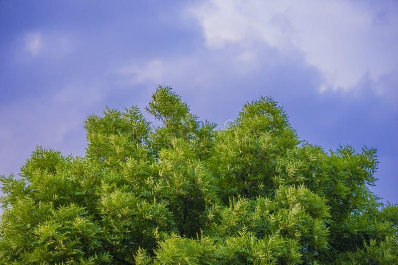 Un árbol verde contra un cielo nublado Corona verde de un árbol grande La textura de un cielo azul imagen de archivo