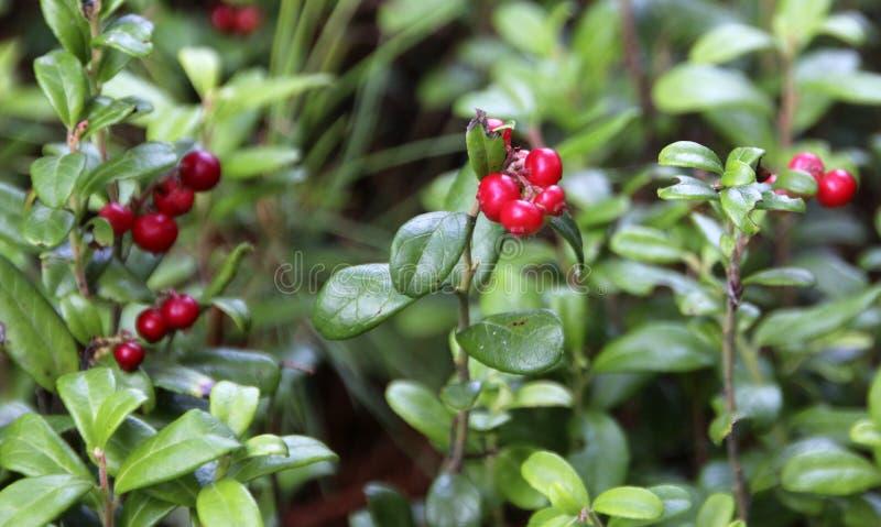 """Un †cercano """"encima de la opinión el arbusto del arándano con los arándanos maduros en el piso del bosque fotografía de archivo"""