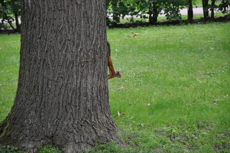 Un écureuil à un arbre photo stock