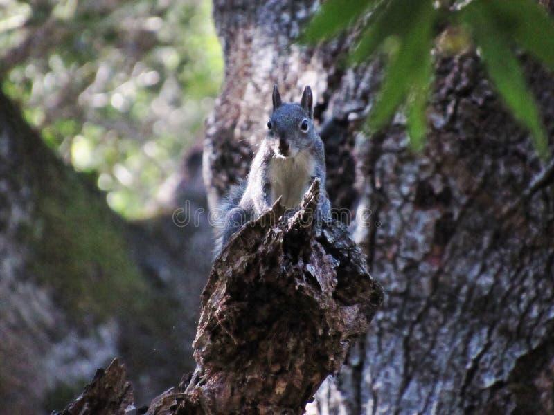Un écureuil curieux image stock