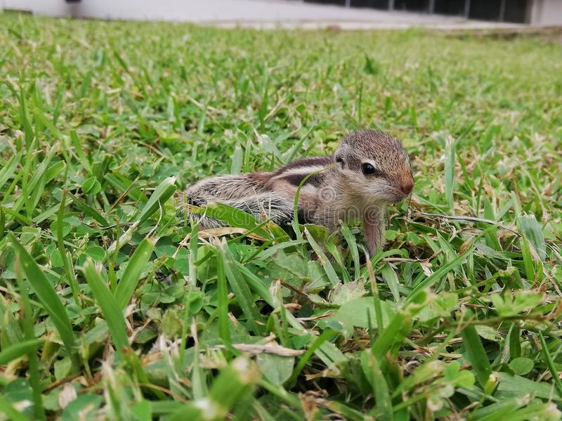 Un écureuil de bébé jouant dans notre jardin photo libre de droits