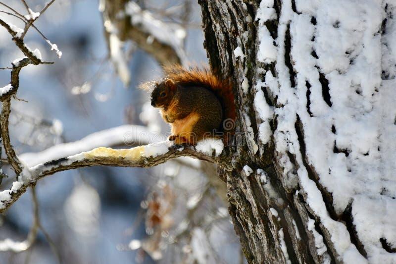 Un écureuil de Fox de regard froid images libres de droits