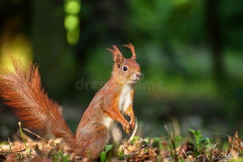 Un écureuil debout dans une forêt photo stock
