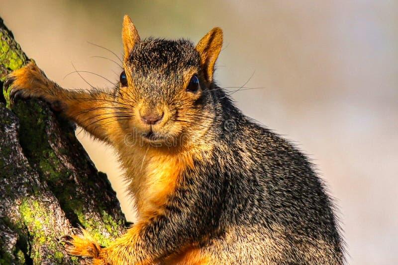 Un écureuil en alerte image stock