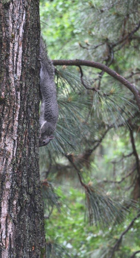 Un écureuil gris oriental accroche à l'envers sur le tronc d'un pin un jour pluvieux photo stock