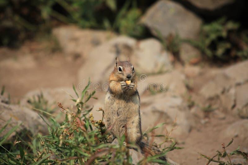 Un écureuil mange le biscuit sur un au sol d'herbe image libre de droits