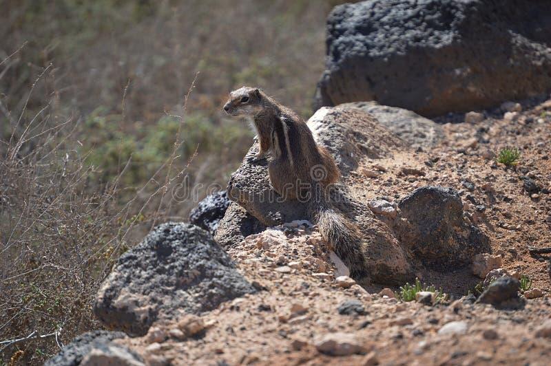 Un écureuil mignon sur la roche images stock