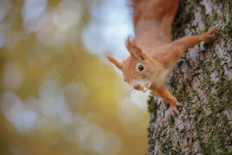 Un écureuil rouge curieux image stock