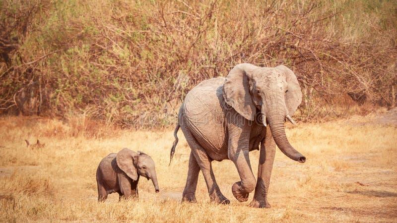 Un éléphant africain de bébé mignon marche près de sa mère au Botswana image stock
