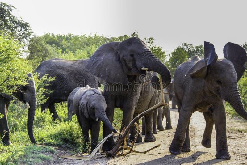 Un éléphant africain de buisson de mère dans un troupeau devient agressif photo libre de droits