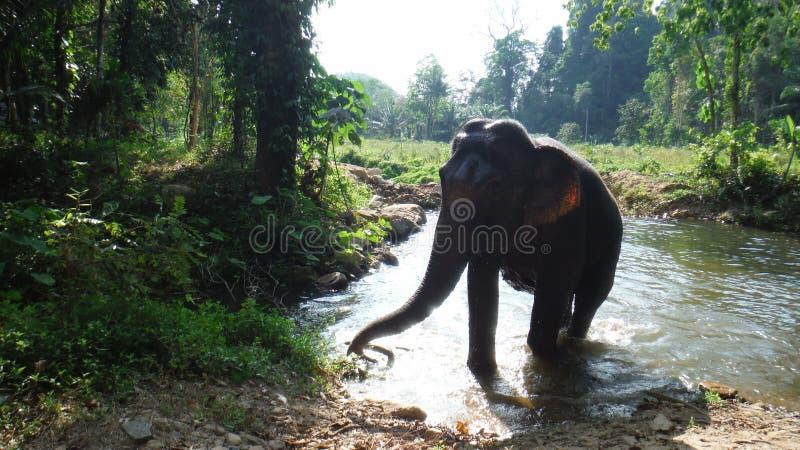 Un éléphant dans l'eau Khao Sok National Park images libres de droits