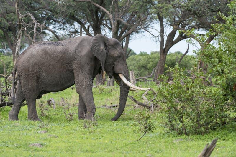 Un éléphant de Bull avec les défenses massives photos stock