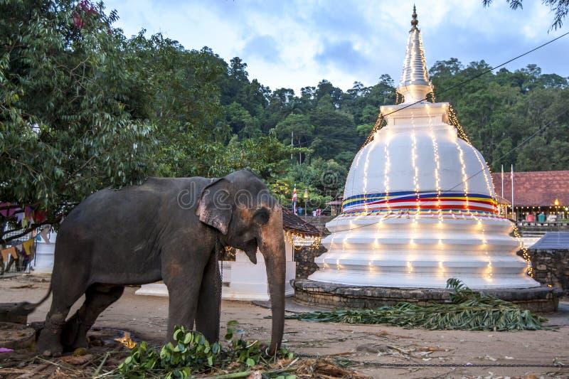 Un éléphant de défilé se tient près d'un stupa à l'intérieur du temple de la relique sacrée de dent à Kandy, Sri Lanka images libres de droits