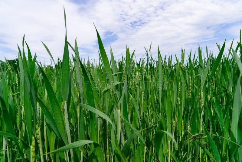 Un élevage de culture sain de blé au printemps photographie stock libre de droits