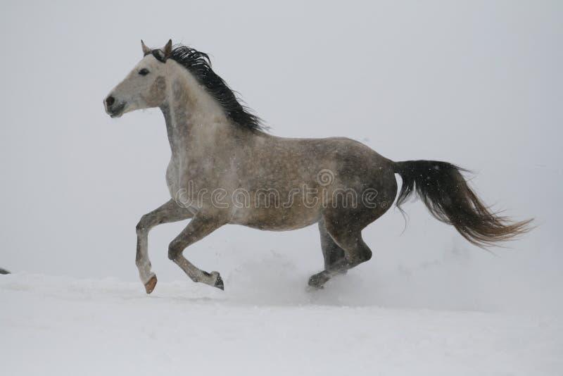 Un étalon gris dans un licou trotte par la neige par temps nuageux d'hiver images libres de droits