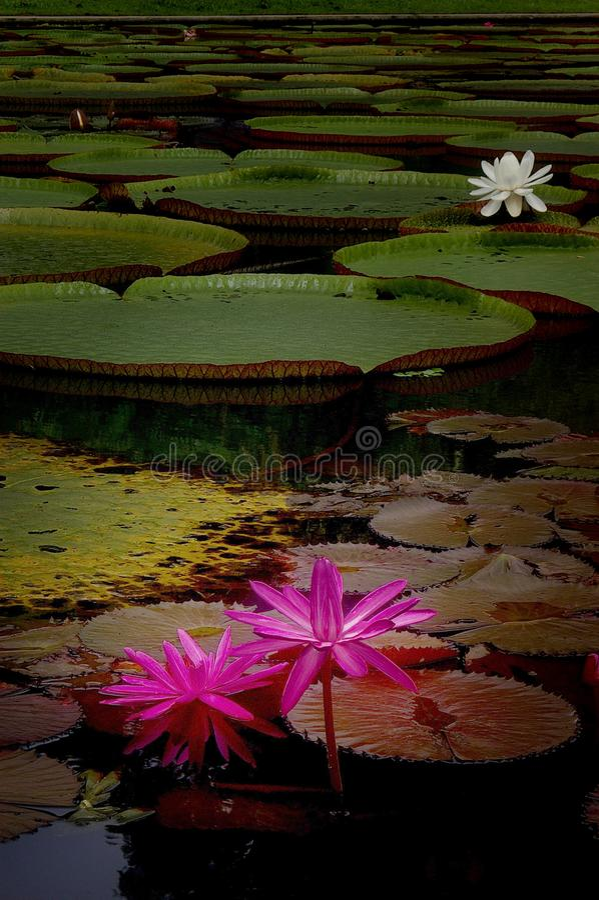 Un étang avec des feuilles de lotus rose et blanc et de géant photographie stock libre de droits