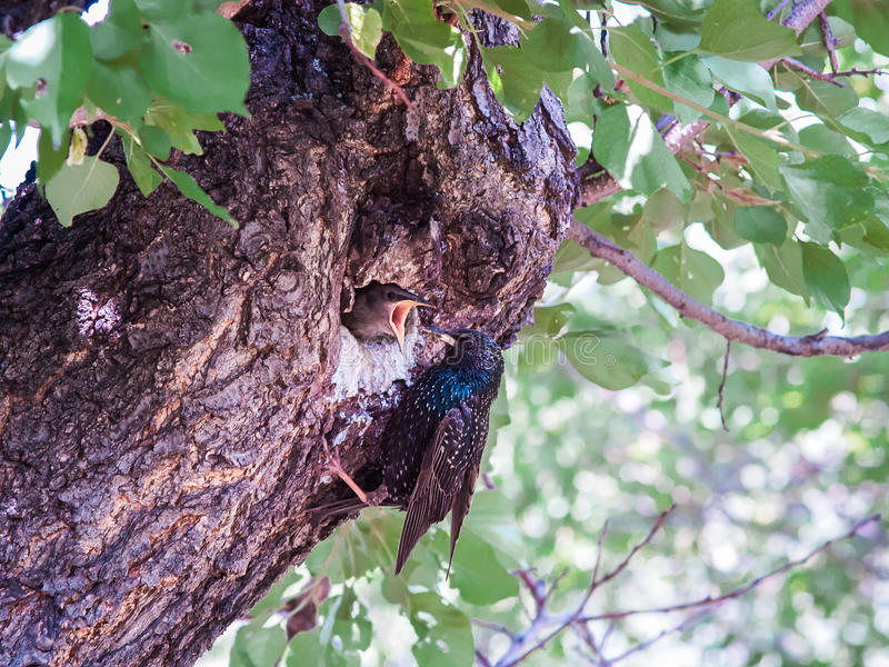 Un étourneau femelle alimente son poussin qui se repose avec le bec ouvert dedans photographie stock