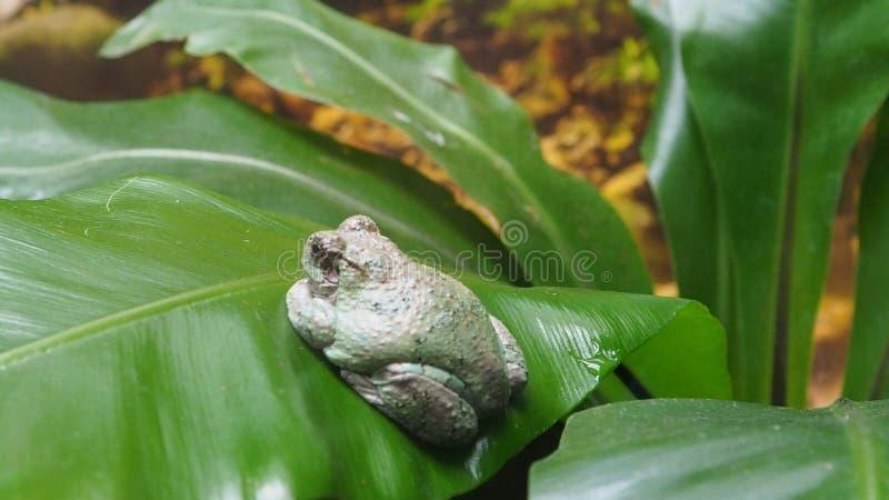 Un étrange peu de grenouille sur une feuille verte photos libres de droits