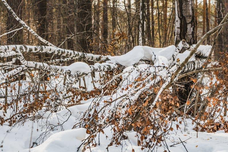 Un abedul blanco quebrado viejo con follaje seco amarillo y la nieve blanca está en la nieve en el bosque en invierno imagenes de archivo