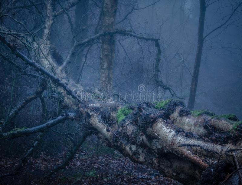 Un abedul de plata caido en un bosque del foogy fotos de archivo libres de regalías