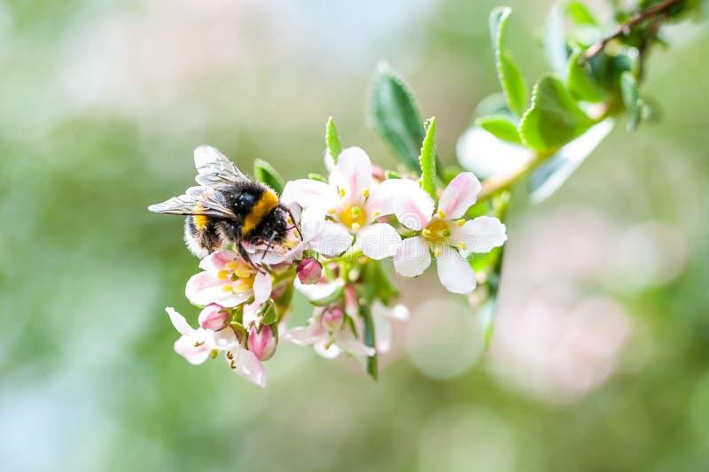 Un abejorro de la primavera que recoge el polen de manzano floreciente fotografía de archivo
