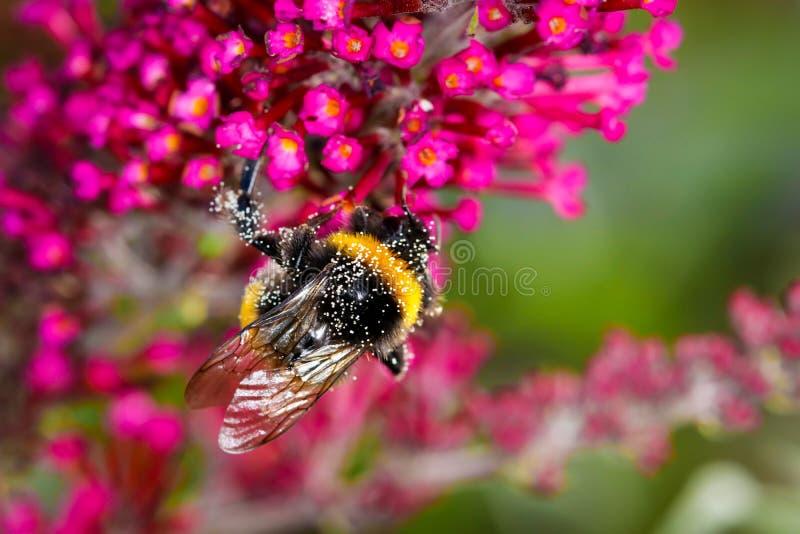Un abejorro del polen está buscando por completo el néctar en una flor púrpura - tiro macro, primer imagenes de archivo