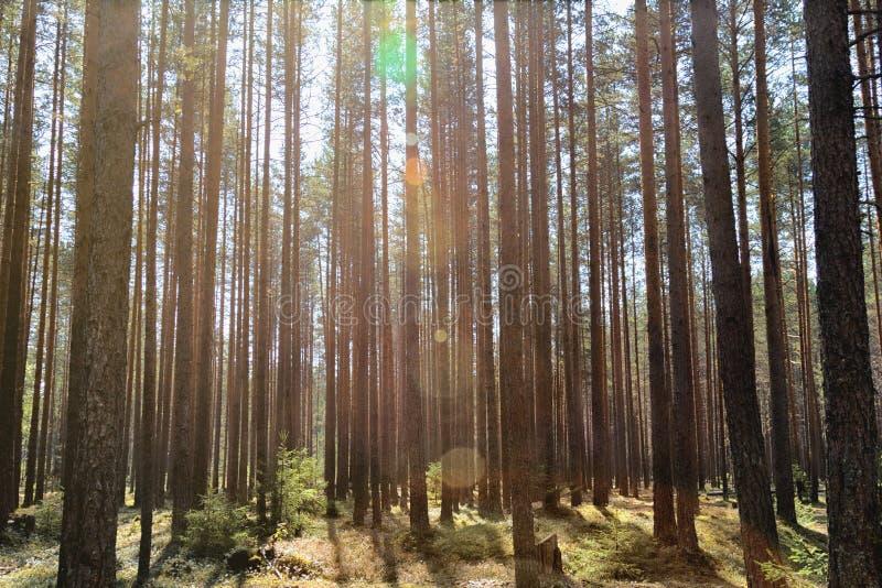 Un'abetaia del giorno soleggiato tronchi sottili degli alberi abbagliamento e cielo blu del sole fotografia stock