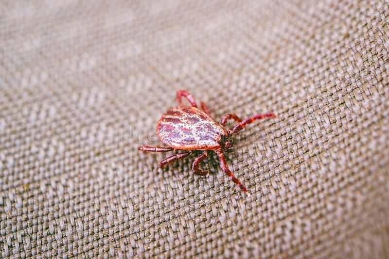 Un acaro pericoloso dell'insetto sulla superficie del tessuto striscia verso l'obiettivo fotografie stock libere da diritti