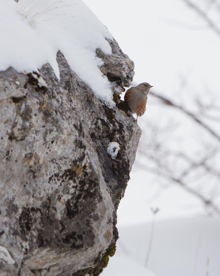 Accentor alpino en roca fotos de archivo