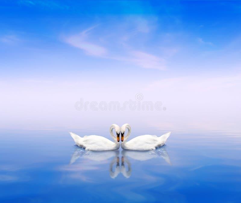 Un accoppiamento del cigno su una priorità bassa blu fotografie stock