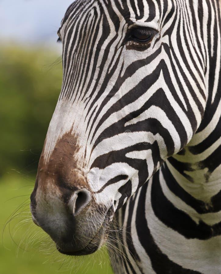 Un acercamiento a la cara de cebra y al rompecabezas sacudido, Equus grevyi fotos de archivo libres de regalías