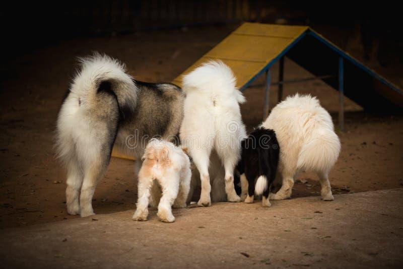 Un'acqua potabile di cinque cani della razza in un'area di formazione, fotografata da dietro la mostra della parte posteriore del immagini stock libere da diritti