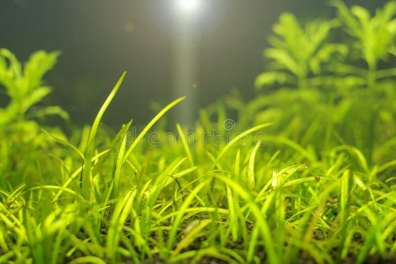 Un acuario de agua dulce tropical plantado hermoso verde con la llamarada de la lente imagen de archivo