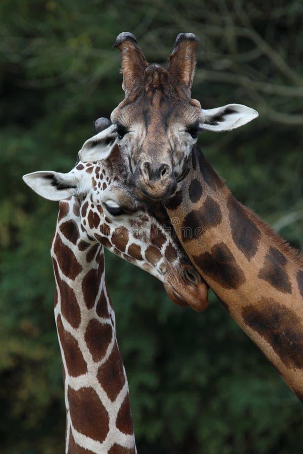 Un'adulazione delicata di due giraffe immagine stock
