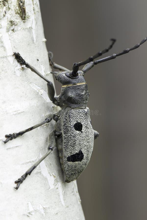 Un adulte de funereus de Morimus, scarabées de longhorn photographie stock libre de droits
