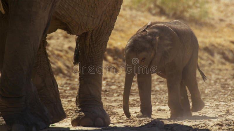 Un africana mignon de Loxodonta d'éléphant africain de bébé, Addo Elephant National Park, Afrique du Sud images libres de droits