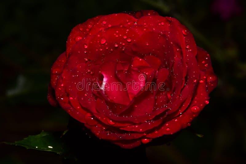 Un afte fantástico de la rosa del rojo al día de verano lluvioso foto de archivo