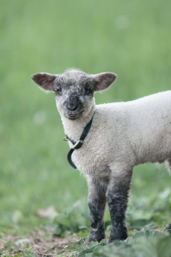 Un agneau à une ferme de la Nouvelle Angleterre photographie stock