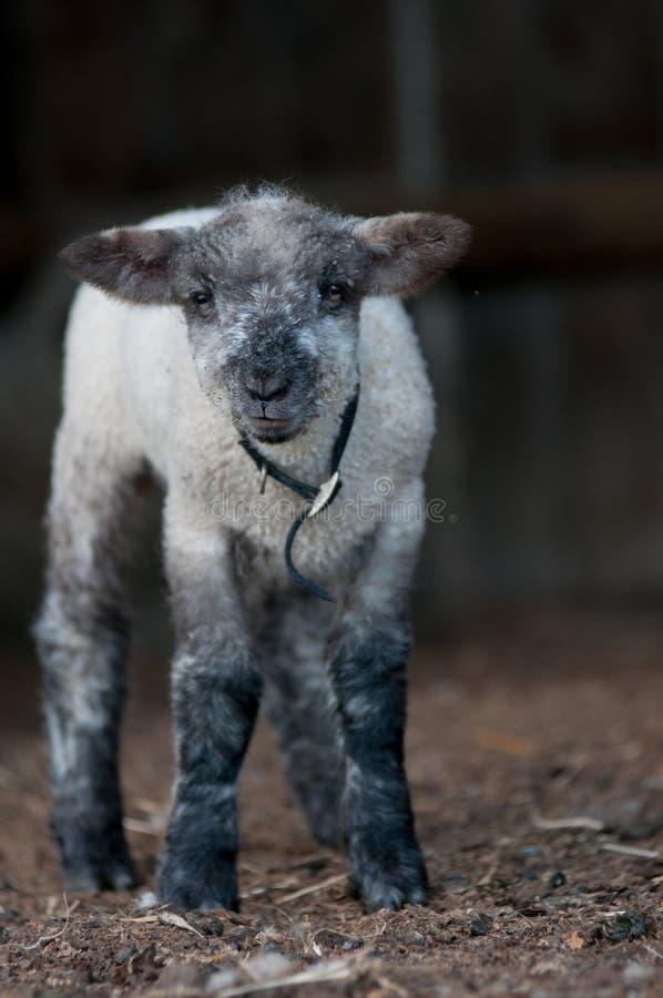 Un agneau dans une grange photos libres de droits
