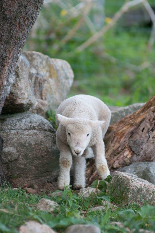 Un agneau essaye de s'élever au-dessus des roches à une ferme de la Nouvelle Angleterre image libre de droits