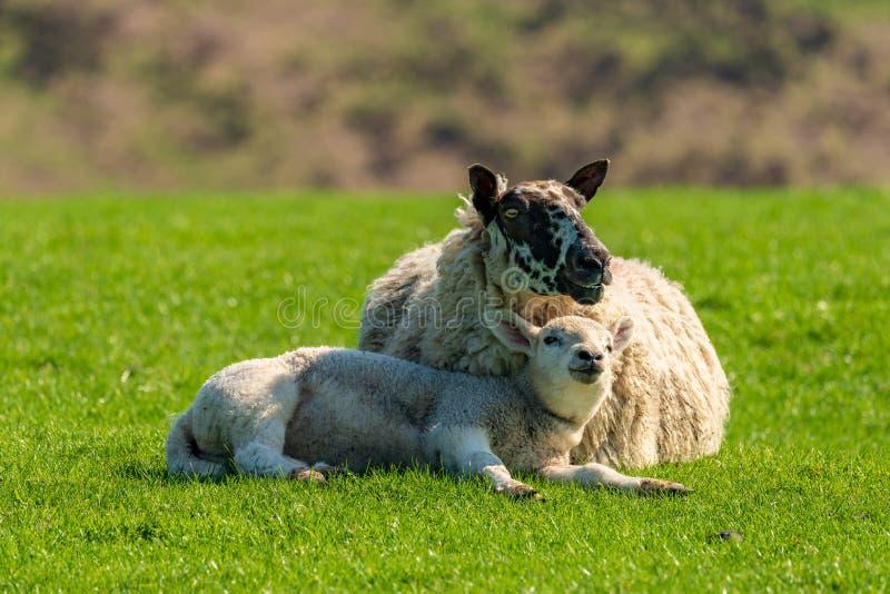 Un agneau et un mouton photos libres de droits