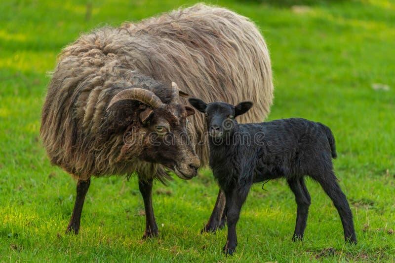 Un agneau et un mouton photographie stock