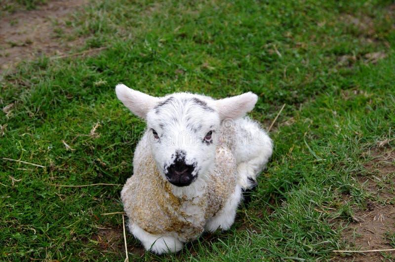 Un agneau se situant dans l'herbe images stock