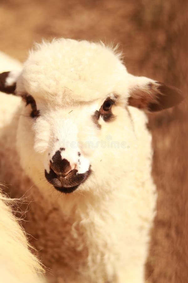 Un agnello che resta vicino è moltitudine fotografia stock libera da diritti